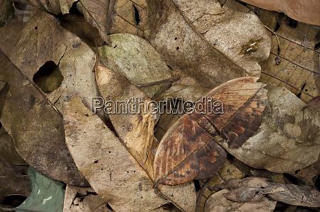 dead leaf moth oxytenis yasuni national