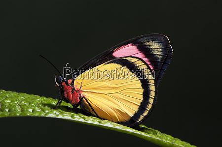 painted beauty butterfly batesia hypochlora yasuni