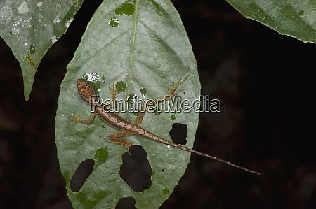 rough skin anole juvenile anolis trachyderma