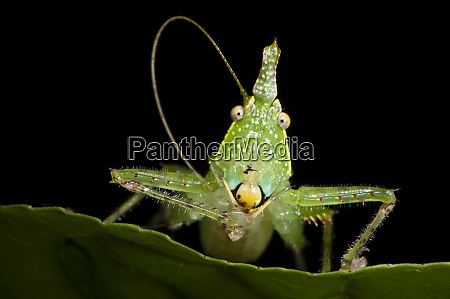 spine headed katydid nymph yasuni national
