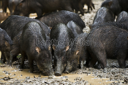 white lipped peccary tayassu pecari at
