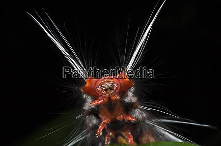 wild silk moth caterpillar saturniidae yasuni