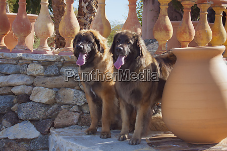 two, leonbergers, standing, watch, (pr) - 27886831