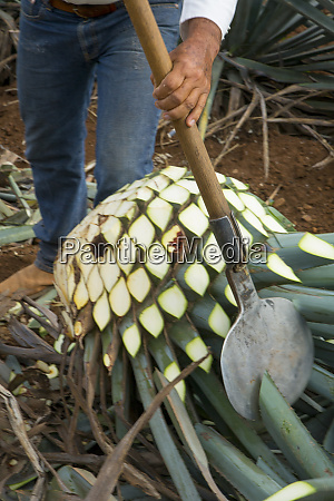 blue agave harvest tequila jalisco mexico
