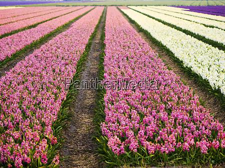 niederlande fruehling blumenfelder