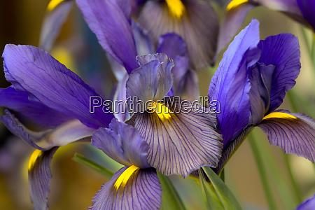 iris flowers keukenhof gardens lisse netherlands