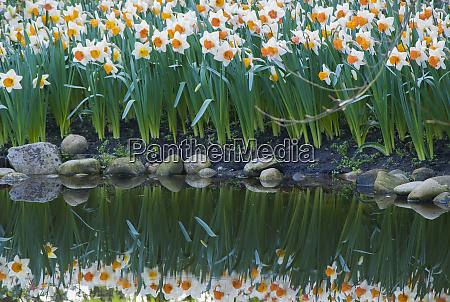 narziss reflektieren im teich