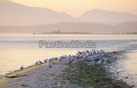 canada british columbia sidney island gulls