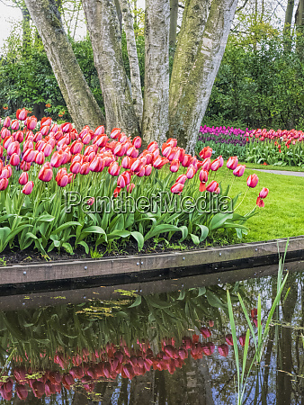 netherlands lisse keukenhof gardens with tulip