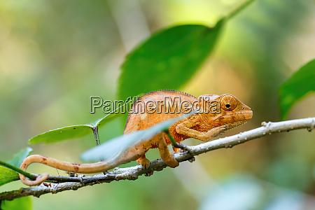 panther chamaeleon furcifer pardalis madagaskar
