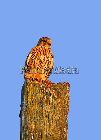 kestrel falco tinnunculus in the evening