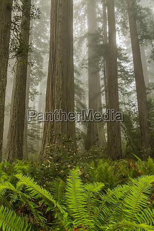 usa kalifornien redwoods nationalpark redwood baeume