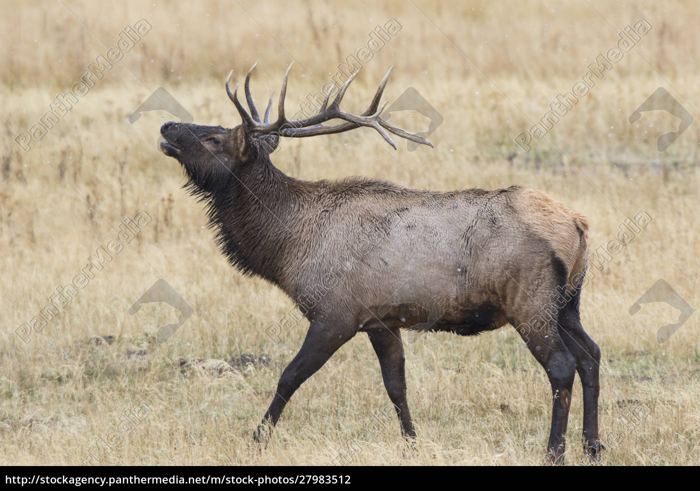 elch, (cervus, canadensis), bullenmännchen, yellowstone-nationalpark, wyoming - 27983512
