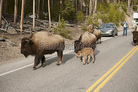 yellowstone nationalpark wyoming bison zu fuss