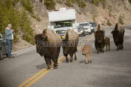 yellowstone nationalpark wyoming usa bison spazierte