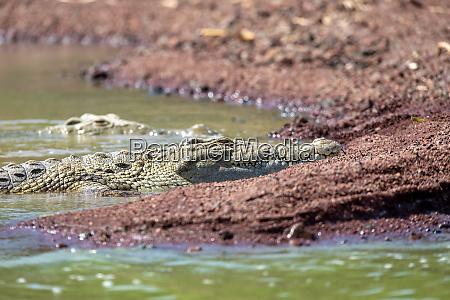grosses nilkrokodil chamosee AEthiopien afrika