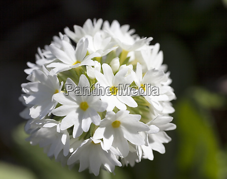 single white spring flower of primula