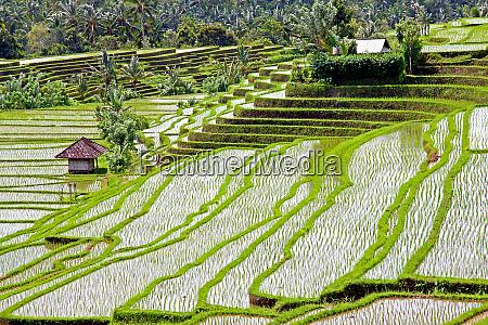 reisfelder und reisterrassen in bali indonesien