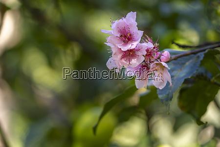 nektarine bluehende blumen