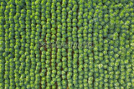 schottland east lothian feld der rosenkohl