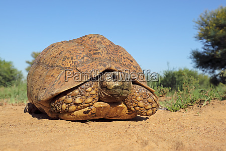 leopard tortoise in natural habitat