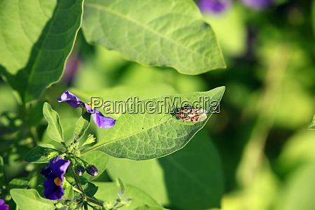 kartoffelbaum enzianstrauch lycianthes rantonnetii auf dem