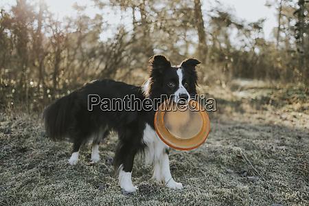 border collie mit frisbee im mund