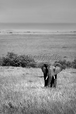 afrikanischer elefant in freier wildbahn