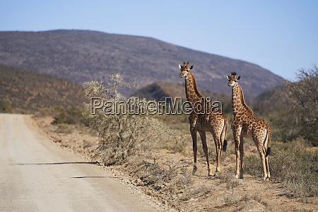 giraffen am sonnigen strassenrand im naturschutzgebiet