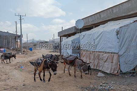 arbeitsesel afar dreiecksregion AEthiopien