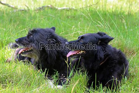 hunde ruhe haustier luege wiese gras