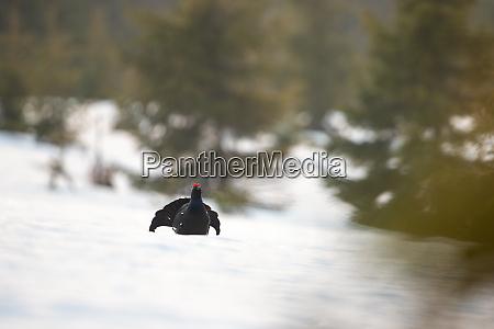 wildvogel schwarzhuhn inderin der wildnis