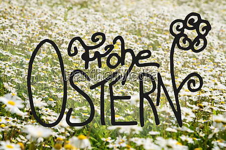 sunny white daisy flower meadow calligraphy
