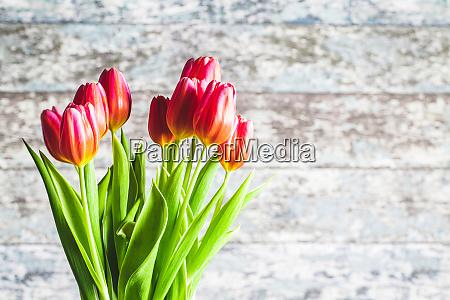 fruehlingsblume tulpe