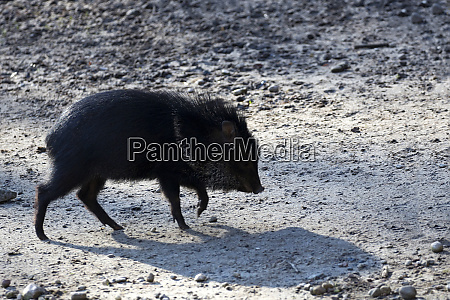 peccary in the wild