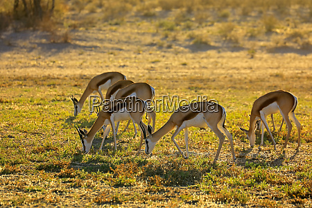 springbok antelopes grazing early morning