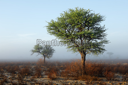 trees in mist kalahari desert