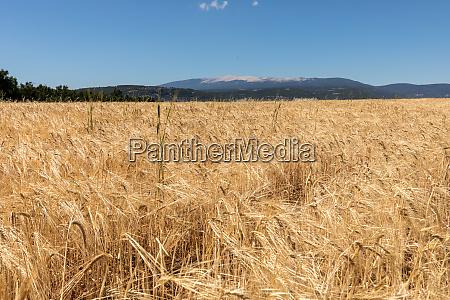 maisfeld und lavendelfelder in der naehe