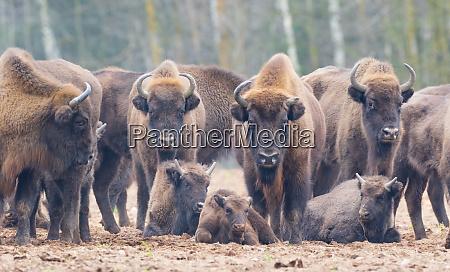 europaeische bison bison bonasus herde