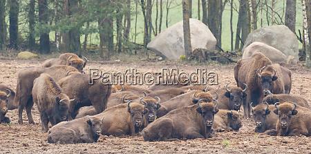 europaeische bison bison bonasus herde ruhend