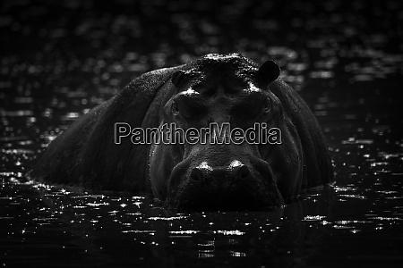 mono hippo starrt auf kamera aus