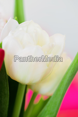 shot of beautiful macro tulip flowers