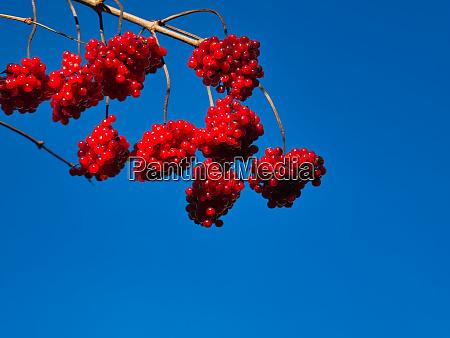 ein gewoehnlicher schneeball mit den roten