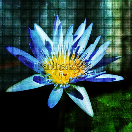 close up of a water lily