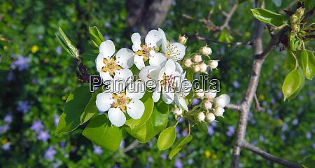 weisse birnen und gaensebluemchenblumen mit bienen