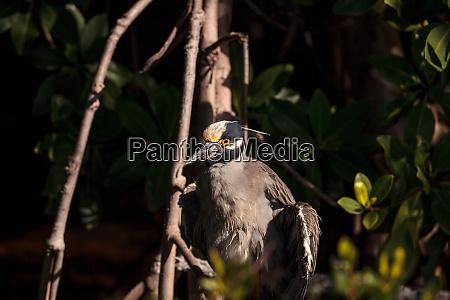 gelb gekroent nachtreiher waten vogel nyctanassa