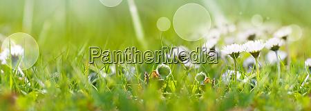 gaensebluemchen auf der fruehlingswiese