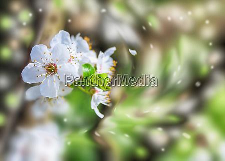 floweris von pflaumenbaum
