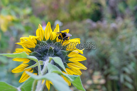 sunflower and bumblebee