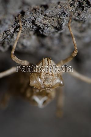 frontalansicht einer libellenlarve exuvia unter einem